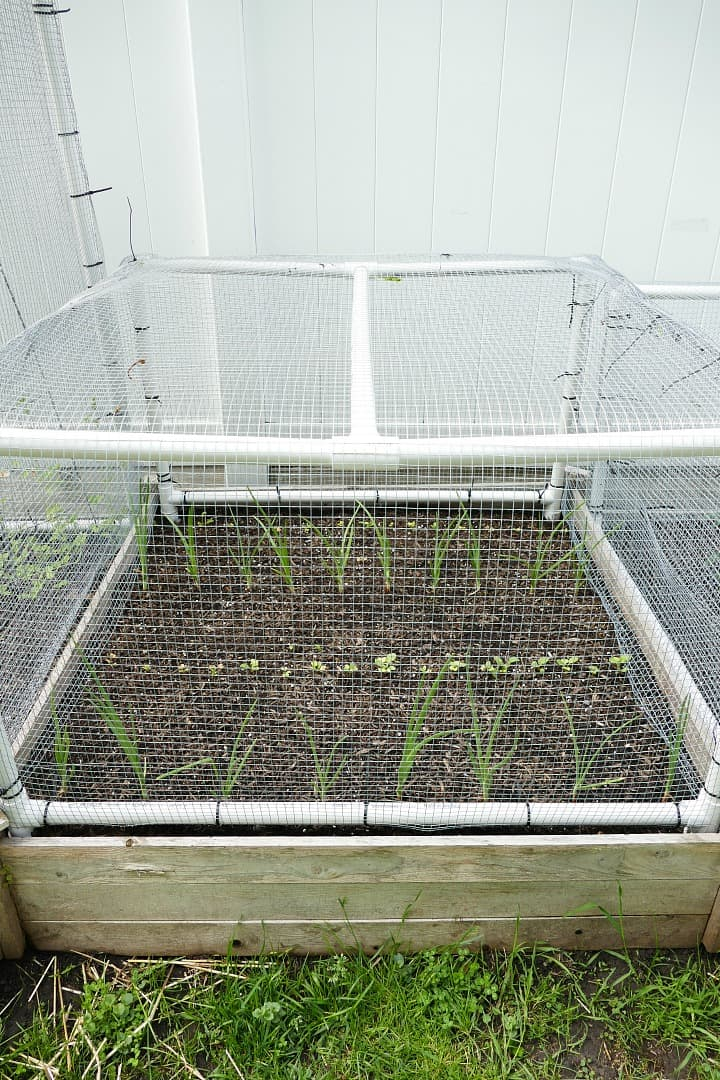 radishes and onions in a raised vegetable bed covered with a wire cage
