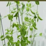 sugar snap pea plant growing on a trellis with a text box at the top