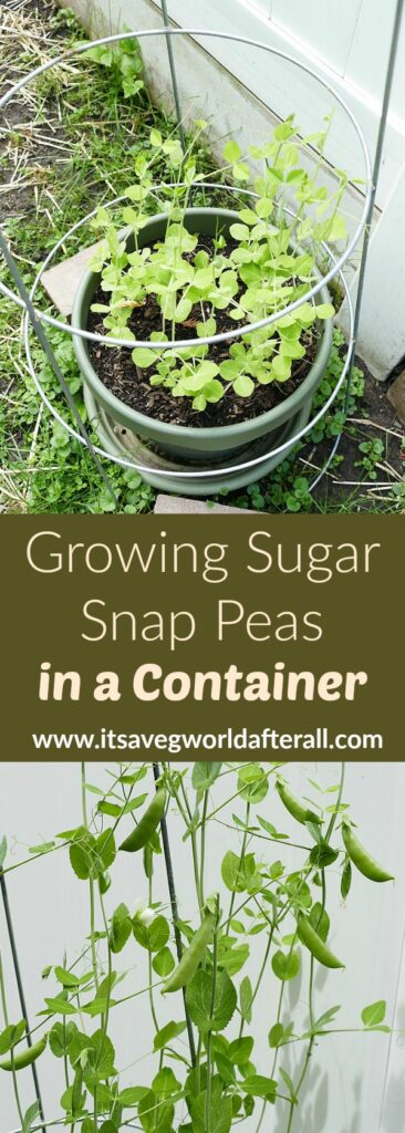 images of sugar snap pea plants separated by a green text box