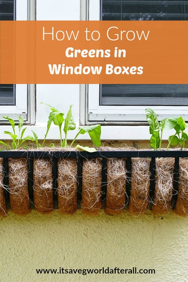 image of chard and arugula growing in a window box with a text box